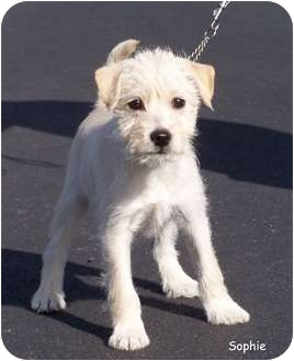 Schnauzer (Miniature)/Jack Russell Terrier Mix Puppy for adoption in Milford, New Jersey - Sophie