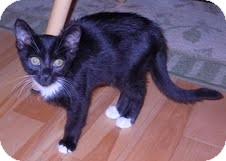 Domestic Mediumhair Kitten for adoption in Foster, Rhode Island - Spencer-I'm in New England!