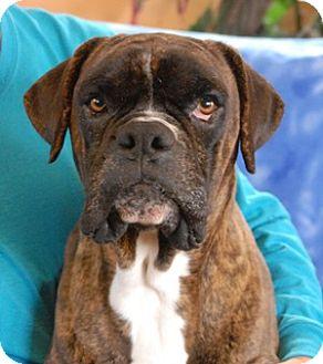 Boxer Dog for adoption in Las Vegas, Nevada - Norman