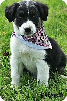 Australian Shepherd/Catahoula Leopard Dog Mix Puppy for adoption in Glastonbury, Connecticut - Patricia