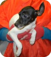 Rat Terrier Puppy for adoption in Antioch, Illinois - Bene ADOPTED!!