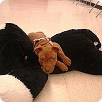 Adopt A Pet :: Roari - Centennial, CO