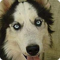 Adopt A Pet :: Nomad, the Sweet Husky - Middletown, CT