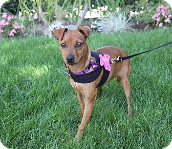 Miniature Pinscher Mix Puppy for adoption in Newport Beach, California - ANA