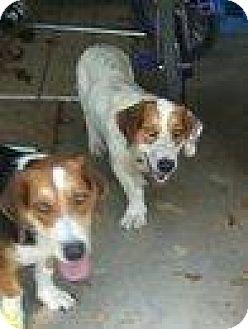 Basset Hound Dog for adoption in Olympia, Washington - Dewey