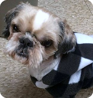 Shih Tzu Dog for adoption in Franklin, Tennessee - McArthur
