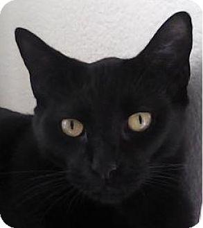 Domestic Shorthair Cat for adoption in Antioch, California - Blackberry