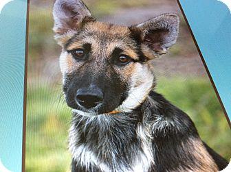 German Shepherd Dog Mix Puppy for adoption in Los Angeles, California - XENA VON XANTEN