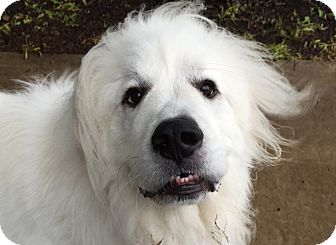Great Pyrenees Dog for adoption in Bloomington, Illinois - Bert ADOPTION PENDING