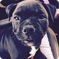 Adopt A Pet :: Apple - Los Angeles, CA