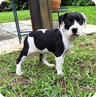 Labrador Retriever Mix Puppy for adoption in Ft. Lauderdale, Florida - CiCi