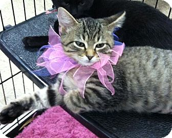 Domestic Shorthair Kitten for adoption in Wilmore, Kentucky - Millie