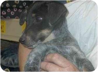 Beagle/Blue Heeler Mix Dog for adoption in Plaquemine, Louisiana - Stanley