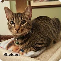 Adopt A Pet :: Sheldon - Bentonville, AR