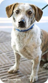 Beagle/Jack Russell Terrier Mix Dog for adoption in Homewood, Alabama - Tiger