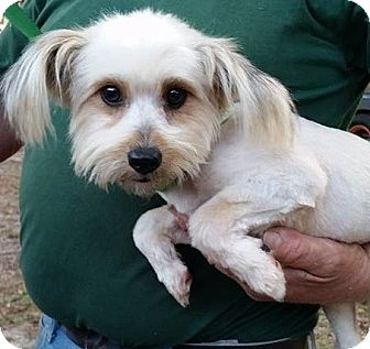 Pomeranian/Shih Tzu Mix Dog for adoption in Gainesville, Florida - Trey