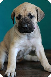 Shepherd (Unknown Type) Mix Puppy for adoption in Waldorf, Maryland - Camille