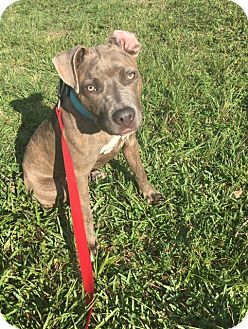 American Staffordshire Terrier/Boxer Mix Puppy for adoption in Jupiter, Florida - Ash