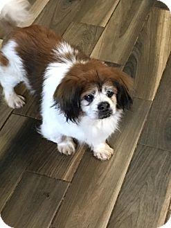 Pekingese Mix Dog for adoption in Brooksville, Florida - Yoshi