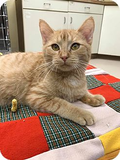 Domestic Shorthair Kitten for adoption in Maryville, Missouri - Rooster
