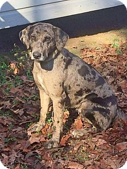 Catahoula Leopard Dog/Shepherd (Unknown Type) Mix Dog for adoption in Goodlettsville, Tennessee - Dixie
