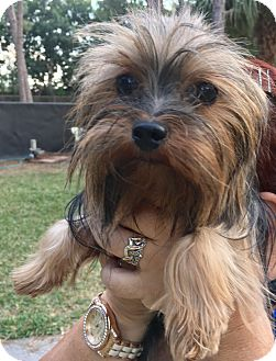 Yorkie, Yorkshire Terrier Dog for adoption in Naples, Florida - Tina