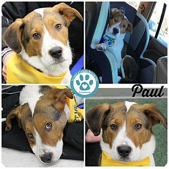 Hound (Unknown Type)/Labrador Retriever Mix Puppy for adoption in Kimberton, Pennsylvania - Paul