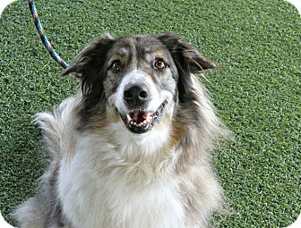 Collie Mix Dog for adoption in Odessa, Florida - Sable