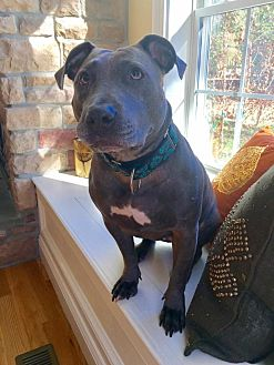 Bull Terrier/Pit Bull Terrier Mix Dog for adoption in Bergen County, New Jersey - Gwen