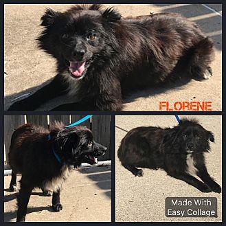 Pomeranian/Spaniel (Unknown Type) Mix Dog for adoption in Garden City, Michigan - Florene