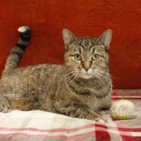 Domestic Shorthair/Domestic Shorthair Mix Cat for adoption in Bristol, Indiana - Aludra