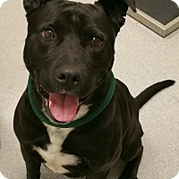 Adopt A Pet :: Boogie - Auburn, CA