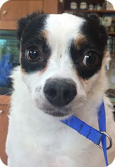 Chihuahua/Papillon Mix Dog for adoption in Oak Ridge, New Jersey - Goofy
