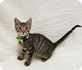 Domestic Shorthair Kitten for adoption in Lexington, North Carolina - HENDERSON