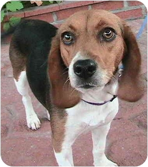 Beagle Dog for adoption in Poway, California - Peggy
