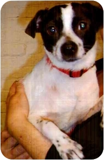 Jack Russell Terrier/Fox Terrier (Toy) Mix Dog for adoption in Old Bridge, New Jersey - Princess