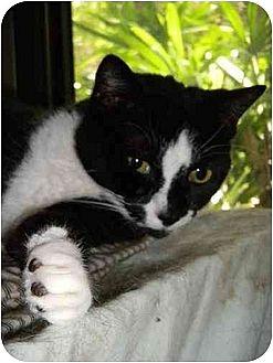Domestic Shorthair Cat for adoption in Orlando, Florida - Salt