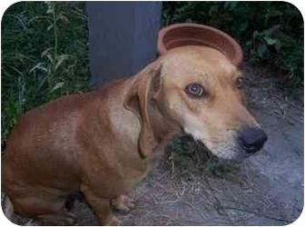 Beagle/Hound (Unknown Type) Mix Dog for adoption in Haughton, Louisiana - Brownie