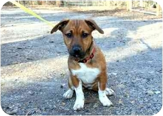 Boxer/Dachshund Mix Puppy for adoption in Cleveland, Georgia - Rascal