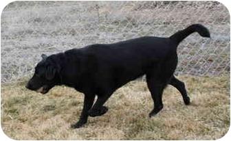 Labrador Retriever Mix Dog for adoption in Jerome, Idaho - 4447