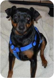 Miniature Pinscher Dog for adoption in dewey, Arizona - Killer