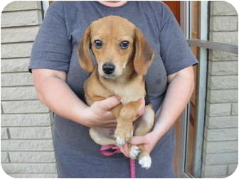 Beagle/Beagle Mix Puppy for adoption in Rochester, New Hampshire - Wiggles