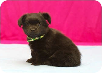 Chihuahua/Terrier (Unknown Type, Small) Mix Puppy for adoption in Westminster, Colorado - CAMERON