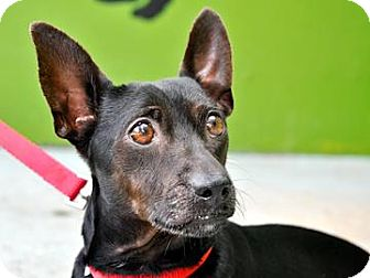 Dachshund Mix Dog for adoption in Bradenton, Florida - Simon