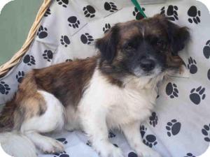 Tibetan Spaniel Mix Dog for adoption in Encino, California - Mason