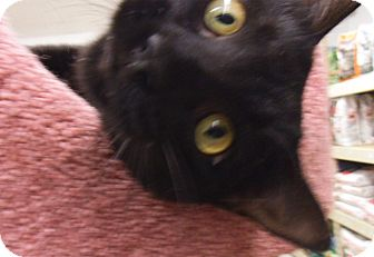 Domestic Shorthair Cat for adoption in Bear, Delaware - Diablo