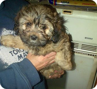 Shih Tzu/Poodle (Miniature) Mix Puppy for adoption in Treton, Ontario - Bear (Puppy)