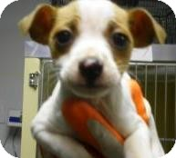 Feist/Terrier (Unknown Type, Small) Mix Puppy for adoption in Lincolnton, North Carolina - Trouble