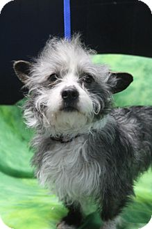 Shih Tzu/Cairn Terrier Mix Dog for adoption in Wytheville, Virginia - Hawk