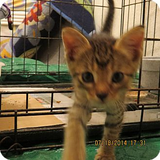 Domestic Mediumhair Kitten for adoption in Coldspring, Texas - Yoda